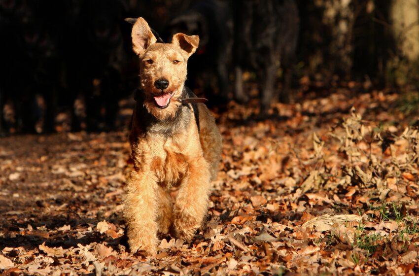 Il Welsh Terrier